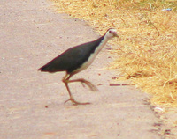 041225095904_white_breasted_waterhen