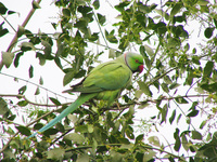 041225095924_rose_wing_parakeet