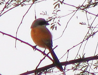 041225102534_long-tailed_shrike