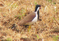 041225103356_red-wattled_lapwing