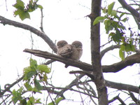 041225104210_spotted_owls_couple