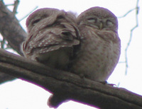041225104252_spotted_owls_couple