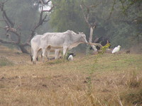 041225110458_cattle_egrets