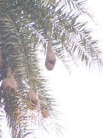 041225112130_hanging_nest_of_baya_weaver_bird