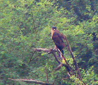 041225112628_crested_serpent_eagle