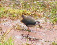 041225114456_white-breasted_waterhen