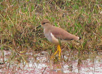 041225115200_white_tailed_lapwing