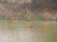 041225120330_spot_billed_duck