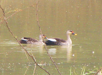 041225120808_spot-billed_duck