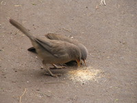 041225121318_jungle_babbler