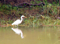 041225122248_great_egret