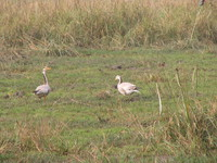 041225123232_wire_headed_geese