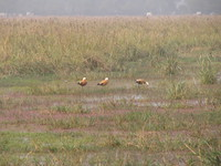 041225123244_ruddy_shelduck