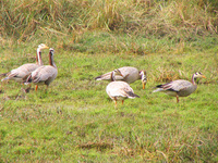 041225123434_wire_headed_geese