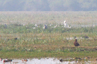 041225135248_steppe_eagle_among_ducks