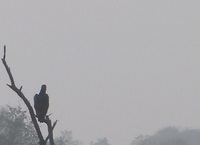 041225140528_king_vulture_on_tree