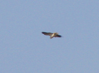 041225143208_black_shoulder_kite_hovering_in_sky