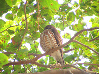 041225164320_brown_hawk_owl