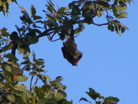 041227075216_flying_fox_bats