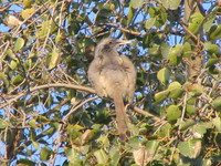041227080822_jungle_babbler