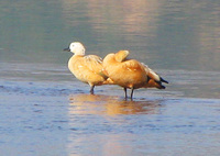 041227092612_ruddy_shelduck