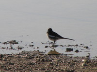 041227092950_large_pied_wagtail