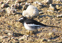 041227093006_large_pied_wagtail