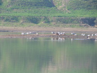 041227100018_ruddy_shelduck_and_wired_headed_geese
