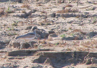 041227101404_great_thick-knee