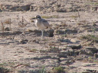 041227101638_great_thick-knee