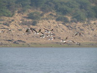 041227104352_indian_skimmers