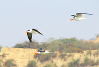 041227104442_indian_skimmers