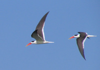 041227104446_two_indian_skimmers