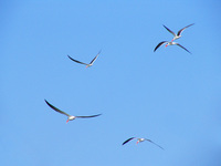 041227104452_indian_skimmers