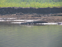 041227105252_marsh_crocodile