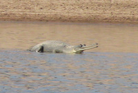 041227110402_gharial_floating_on_water