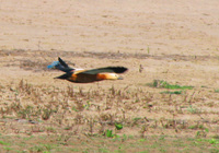 041227111712_flying_ruddy_shelduck