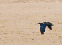 041227112014_flying_black_ibis