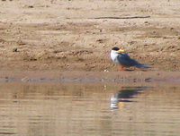 041227113418_river_tern_looking_at_its_own_reflection