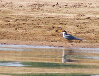 041227113522_river_tern_looking_at_its_own_reflection
