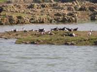 041227114258_indian_skimmers_and_their_private_island