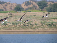 041227114320_indian_skimmers