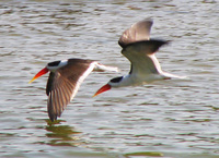 041227114350_indian_skimmers