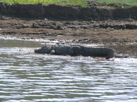 041227114636_marsh_crocodile