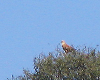 041227115734_long_legged_buzzard