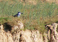 041227120004_lesser_pied_kingfisher