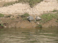 041227120148_soft_shell_turtles