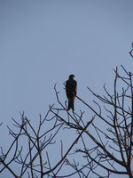 041227155730_black_kite_in_agra