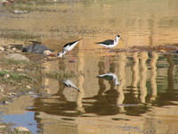 041215015434_pair_of_black_wing_stilt_neard_gadi_sagar