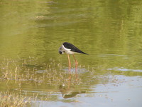 041215015600_black_wing_stilt_in_gadi_sagar